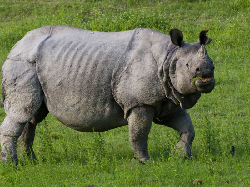 Rhinoceros, Kaziranga national park