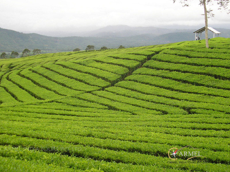 Darjeeling Holiday visit tea gardens