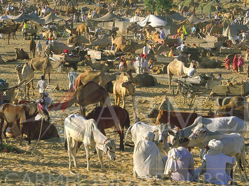 Visit Pushkar Camel Fair