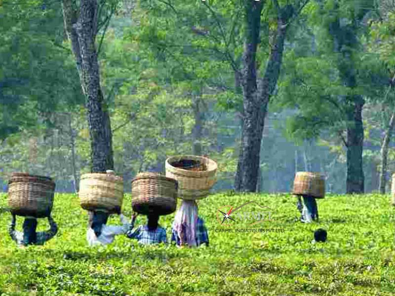 Tea Plantation, Tea Garden, Assam