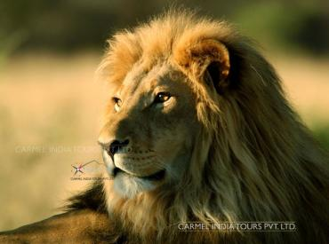 Lion Safari, Sasan Gir gujarat tour package