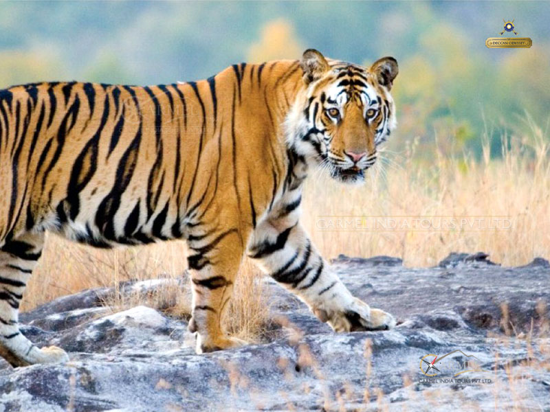 Pench National Park Tiger wildlife tour package